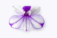 Vit purpurfärgad orkidé Arkivfoton