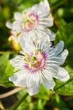 Vit purpurfärgad passionblomma Royaltyfria Bilder