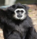 Vit-räckt gibbon royaltyfri foto