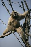 Vit-räckt gibbon, Hylobateslar Fotografering för Bildbyråer