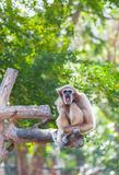 Vit-räckt gibbon (Hylobateslaren) Royaltyfri Foto