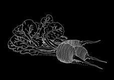Vit rädisa på svart bakgrund Royaltyfri Fotografi