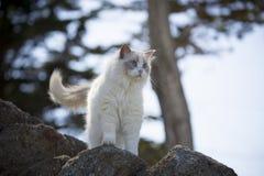 Vit Ragdoll katt Arkivfoton