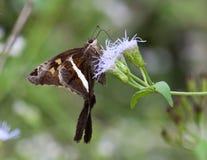 Vit randiga Longtail Butterflly på vildblomma Royaltyfri Bild