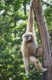 Vit räckte Gibbon Royaltyfri Fotografi