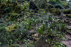 Vit regnlilja, vit felik lilja, vit sefirlilja Royaltyfri Foto
