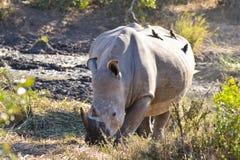 Vit rhinocero med fåglar på dess baksida royaltyfri foto