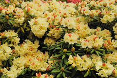Vit rhododendron Arkivfoto