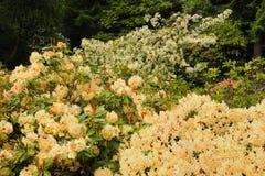 Vit rhododendron Arkivbild