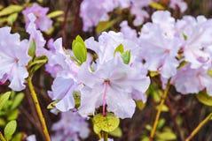 Vit rhododendron Royaltyfri Fotografi