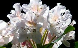 Vit rhododendron arkivbilder