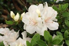Vit rhododendron Closeup av en blommande buske royaltyfria bilder