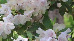 Vit rhododendron med rosa färgmitt och bin lager videofilmer