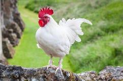 Vit Rooster Fotografering för Bildbyråer