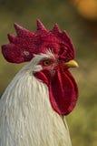 Vit Rooster Arkivbild