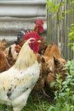 Vit Rooster Royaltyfria Bilder