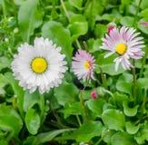 Vit rosa daisys Royaltyfri Fotografi