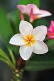 Vit-, rosa färg- och gulingPlumeriablomning (frangipanien blommar, det frangipani-, pagodträdet/tempelträdet), Arkivfoton
