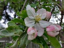 Vit rosa färgblomma för träd arkivfoton