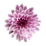 Vit-rosa färger blommar krysantemumet, trädgårdblomman, vit isolerad bakgrund med den snabba banan closeup Inget skuggar royaltyfri foto