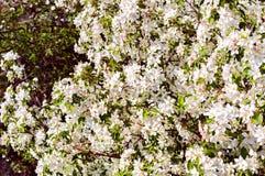 Vit-rosa färger blommor Arkivfoto