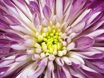 Vit-rosa färger krysantemumblomma Makro Fläckig krysantemum för bakgrundsblomma med daggdroppar Royaltyfria Foton