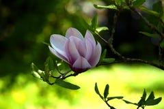 Vit-rosa färger magnoliablom Arkivfoto