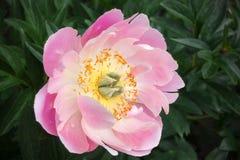 Vit-rosa färger pion med den gula mitten och gula stamens, mot en bakgrund av suddiga gräsplaner Fotografering för Bildbyråer