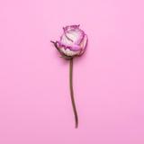 Vit-rosa färger torkar rosa på en rosa bakgrund Lekmanna- lägenhet, blomma för bästa sikt Royaltyfria Bilder
