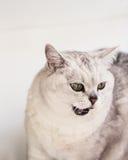 Vit rovdjur av kattfamiljen, housecat i processen som jagar inom väggarna hans hus med förlägga för din text royaltyfria foton