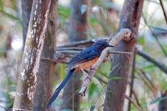 Vit-rumped Shama i den Bondla nationalparken av västra Ghats Royaltyfria Bilder