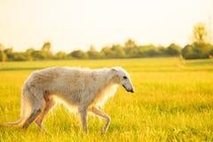 Vit rysk hund, rysk vinthund som går att köra i sommarsolnedgången Sunri Arkivbilder