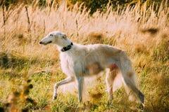 Vit rysk rysk vinthund- eller gazehoundjaktspring Arkivbild