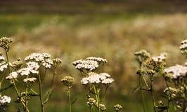 Vit sätter in blommor Arkivbilder