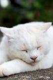 Vit sömnig kattblick Royaltyfria Foton