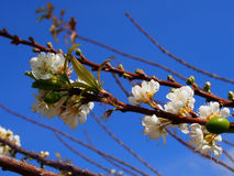 Vit sakura blomma Royaltyfri Fotografi