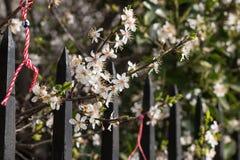 Vit sakura blomma Royaltyfri Foto