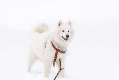 Vit Samoyedhundavel i vintern på snö-täckt jordning Arkivfoto