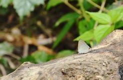 Vit-satt band häckblåttfjäril som hänger på timmer i skog Royaltyfri Fotografi