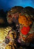 Vit satte band Coral Shrimp Royaltyfri Bild