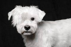Vit schnauzerhundstående fotografering för bildbyråer