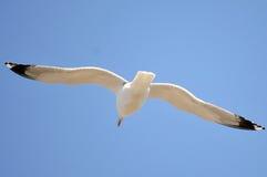 Vit seagull arkivbilder