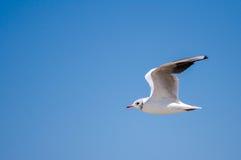 Vit seagull Royaltyfria Bilder