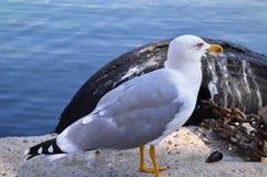 Vit Seagull med den gula näbb Royaltyfria Bilder