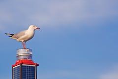 Vit seagull på en hög Royaltyfri Bild
