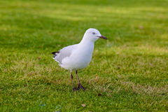 Vit seagull på gräset Royaltyfri Bild