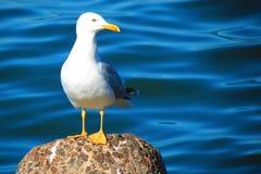 Vit seagull på stenen nära det baltiska havet, Litauen royaltyfri fotografi