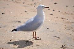 Vit seagullfågel på stranden Arkivbilder