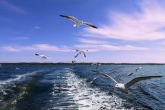 Vit seagulljakt för flyg i havet Royaltyfria Bilder