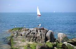 Vit seglar i oxehamn Royaltyfri Foto